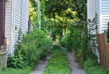A Hamilton Ontario alleyway with overgrown vegetation on its side, and a clear vehicle pathway in the centre with low vegetation